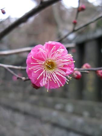 紅梅咲く、鎌倉/長谷0113