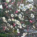 写真: 紅白の梅、御霊神社。(2/23)