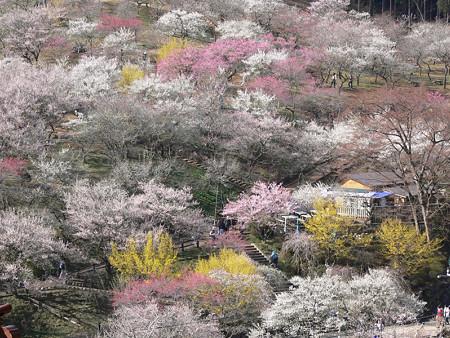 梅の公園3、吉野梅郷2008!