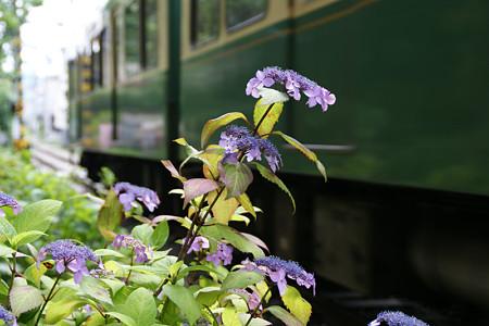 紫陽花と江ノ電0524tp