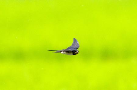 ツバメの飛翔5