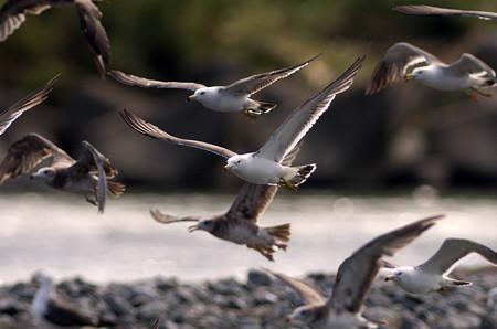 ウミネコの飛翔4