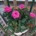 Photos: 【園芸】ミニバラ[ピンク]|2014年[春]
