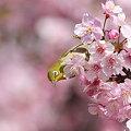 写真: 090305メジロと河津桜2