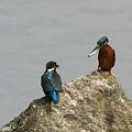 写真: 090506カワセミの求愛給餌(2/10)