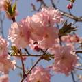 八重の桜。