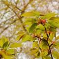 『桜』また来年…
