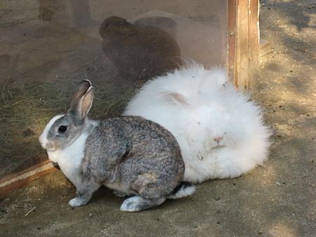 アンゴラウサギの画像 p1_8