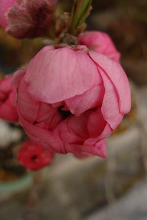 桃の花もうすぐ・・・