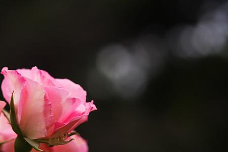 薔薇の香り