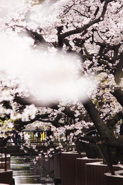 谷沢川の桜