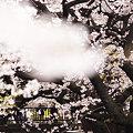 Photos: 谷沢川の桜