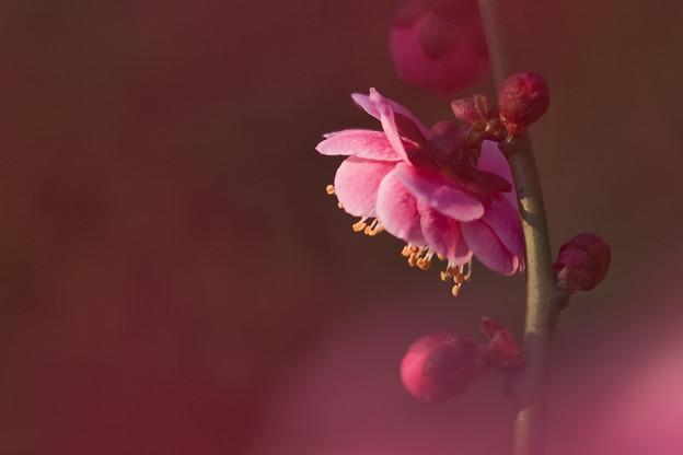 桃色の世界