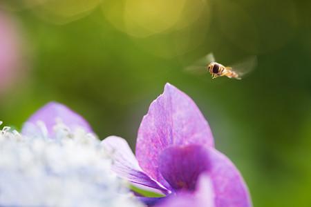 紫陽花の魅力
