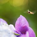 Photos: 紫陽花の魅力