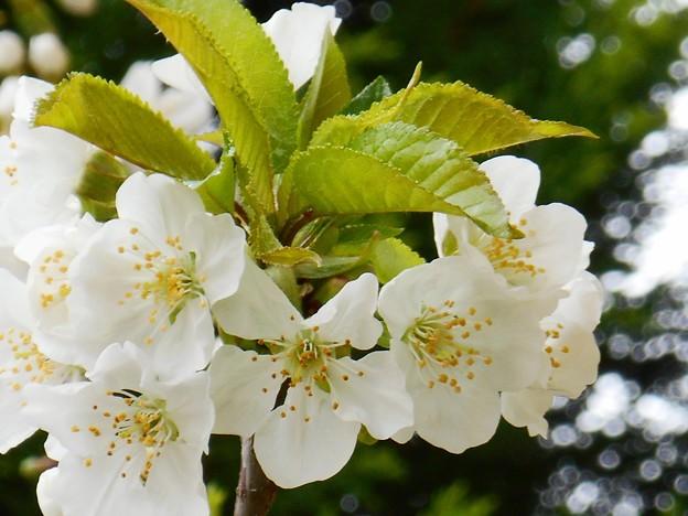 新緑の候 色白な美白桜♪