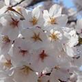 桜日和 in 千光寺山。