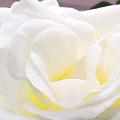 Photos: 白い薔薇-2