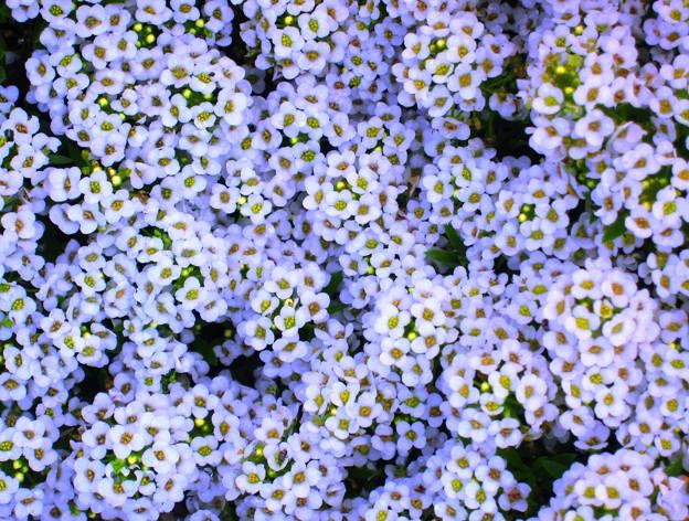 Photos: 海岸通りの白い花