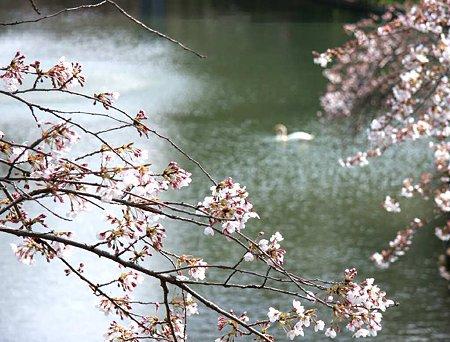 okazakizyou sakuramaturi-210328-15