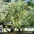 鬱金桜(うこん桜)