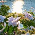 紫陽花湖畔