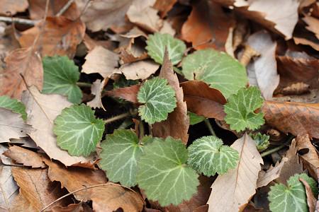 落ち葉の下からユキノシタが・・