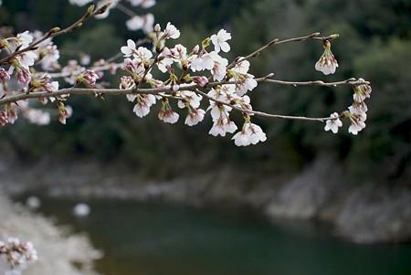 川と桜、別の川にて