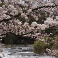 Photos: 桜_川 C04015
