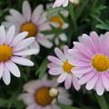 交通会館屋上庭園で綺麗に咲いてました