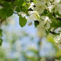 Photos: エゾノコリンゴの花