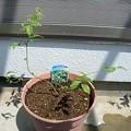 写真: 140501-1 鉢植えのブルーベリー