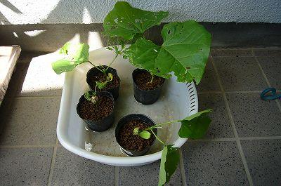 140613-1 なた豆の苗