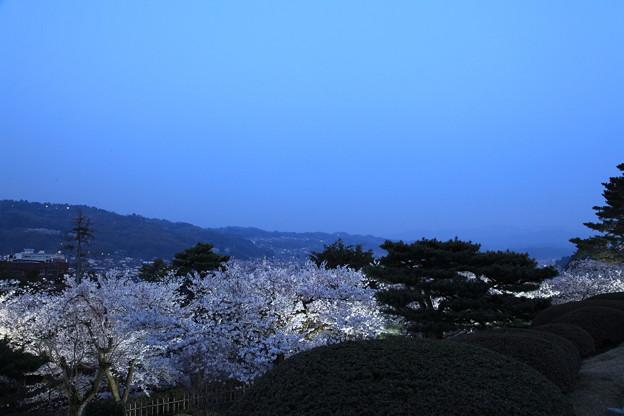 兼六園 満開の桜 眺望台から