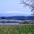 白山と桜並木 菜の花