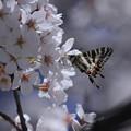 ギフチョウ(春の舞姫)と桜(2)