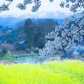 菜の花畑と桜 (2)
