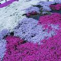 芝桜(3)