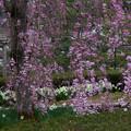 枝垂れ桜と水仙