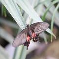 写真: シロオビアゲハ雌(ベニモン型)