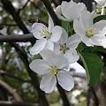 純白な花 姫林檎