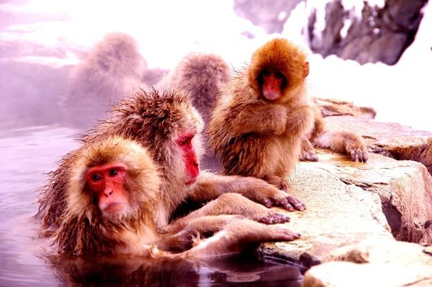 猿の家族で入る温泉・・・