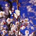 雪降った翌日の晴天 元気に咲き始める曽我の梅たち・・