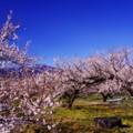 大雪の後の晴天の中 梅も満開へ向かって・・曽我梅林にて
