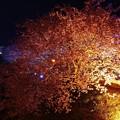 昼間のピンクとは違った顔見せる河津桜。。