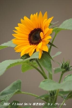 2012 ミニひまわりの咲き始め・・・今年は 蕾だらけ