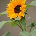 Photos: 2012 ミニひまわりの咲き始め・・・今年は 蕾だらけ