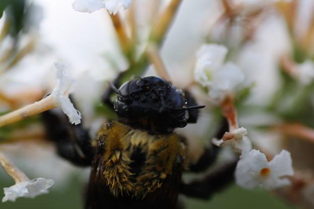 ブッドレアと雨に戸惑う蜂