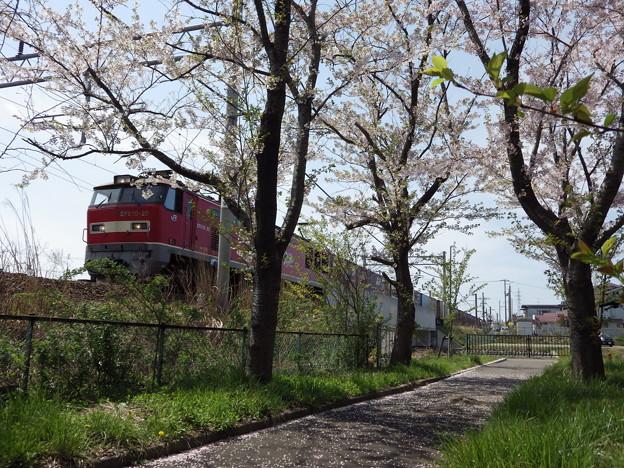 桜並木とEF510‐20