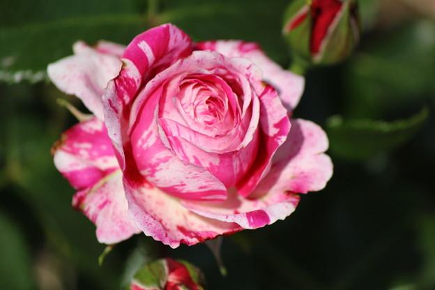 椿っぽいバラ